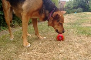 Keep your dog cool with a Kong popsicle.