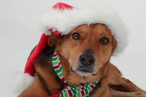 Keeping dogs happy and safe at Christmas